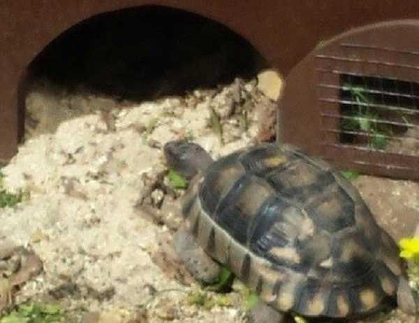 letargo tartarughe6
