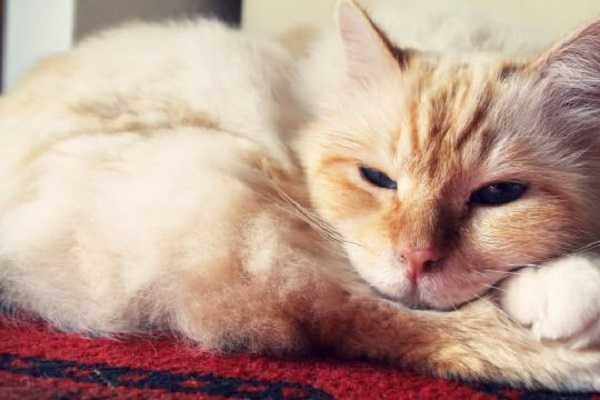 malattie infettive gatti 2