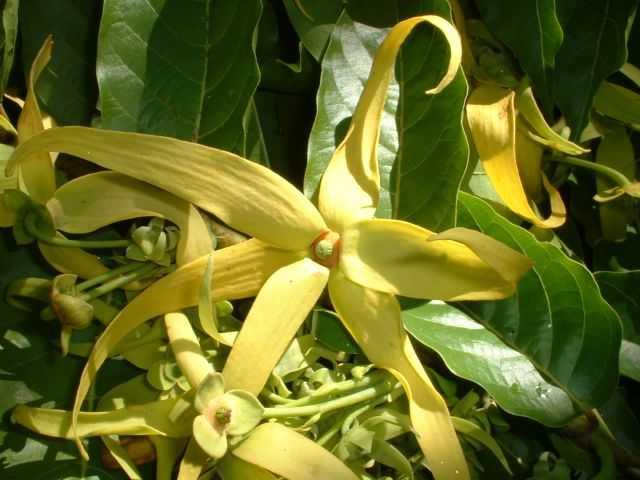 Olio essenziale di Cananga odorata