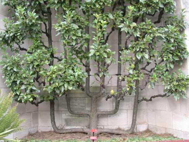 Alberi da frutto come riconoscere le gemme idee green for Alberi da frutto