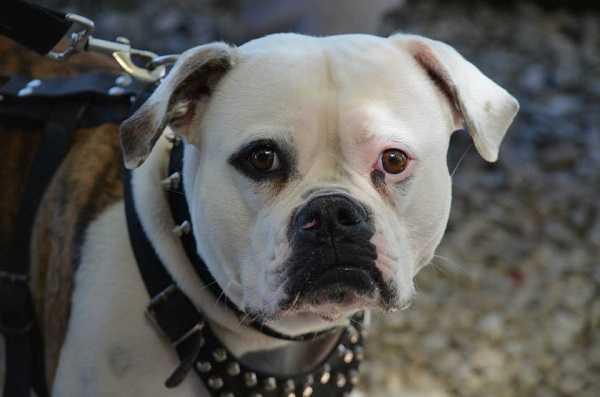 american bulldog carattere e prezzo