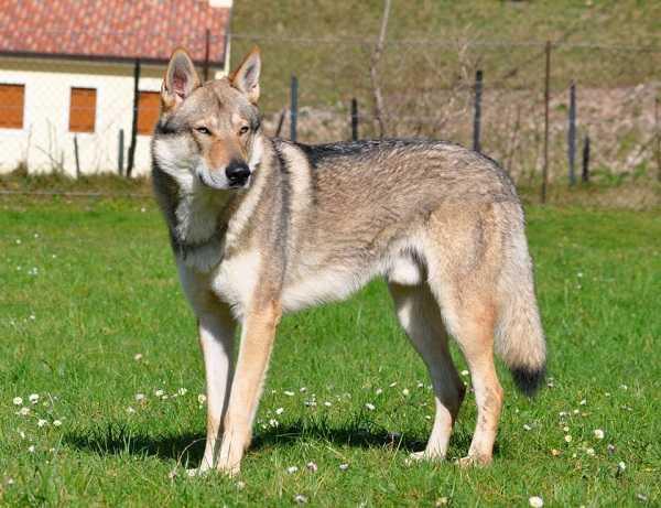 cane lupo cecoslovacco