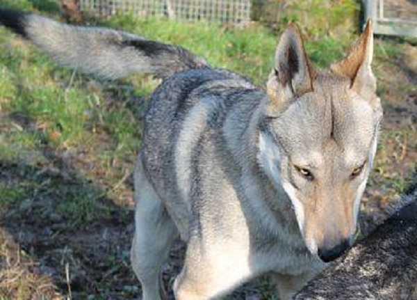 cane lupo cecoslovacco aspetto