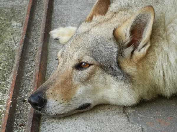 cane lupo cecoslovacco allevamento