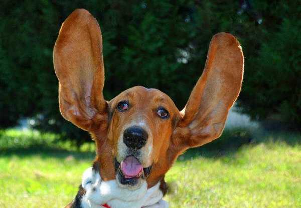 cane sordo3
