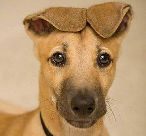 cane sordo4