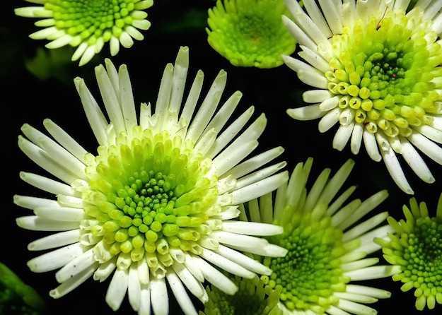 Coltivare crisantemi la guida completa idee green - Crisantemi in vaso ...