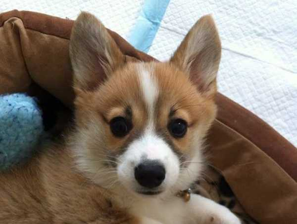 corgi gallese