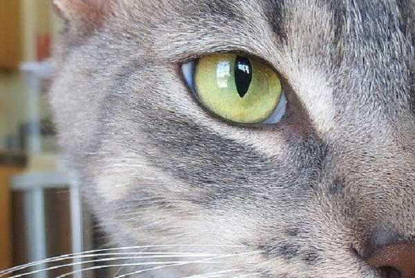 gatto cieco4