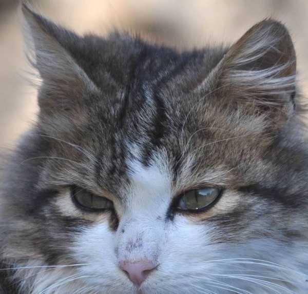 gatto soriano2