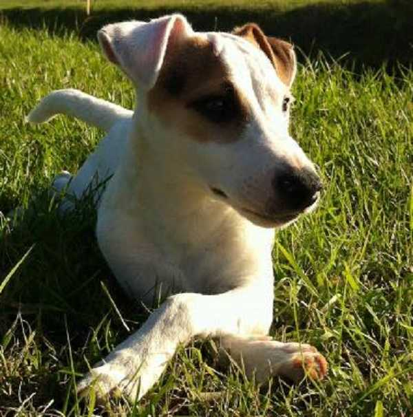 Jack russell: carattere e alimentazione idee green