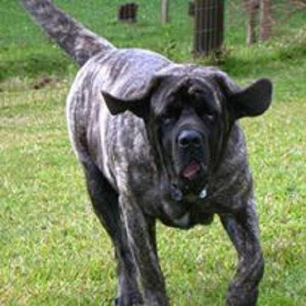 mastiff gigante
