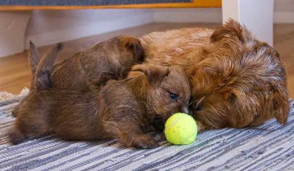 norfolk terrier aspetto