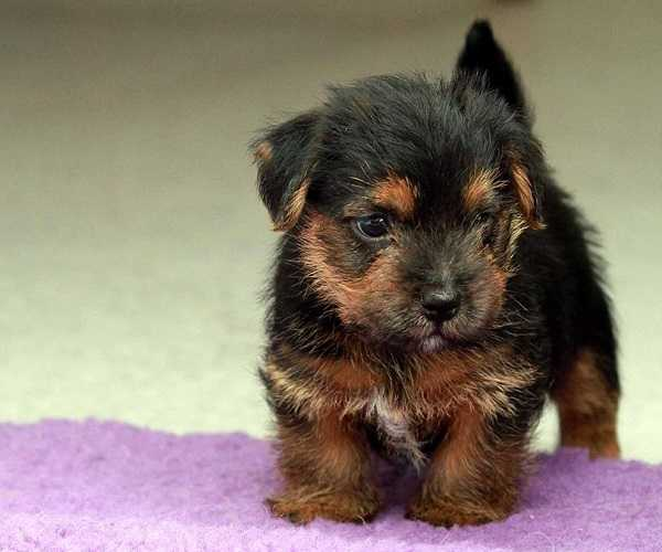 norfolk terrier origini