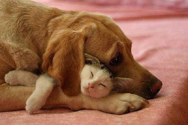 pedigree cani