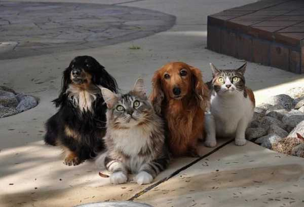 pedigree gatti