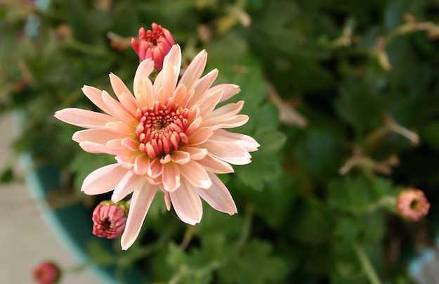potare cimare crisantemi