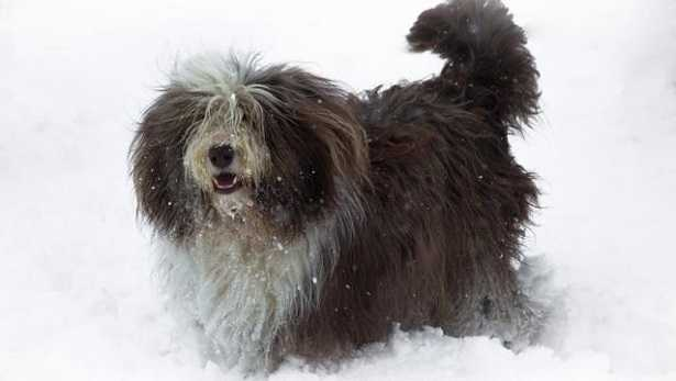 bearded collie allevamento