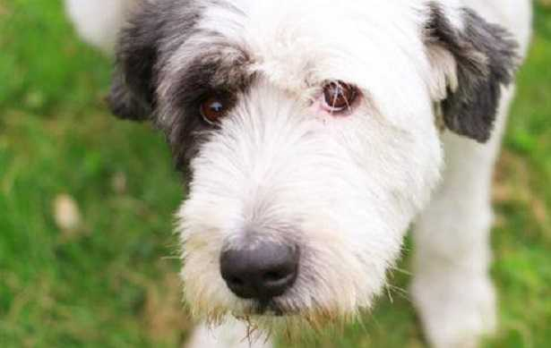 bearded collie prezzo