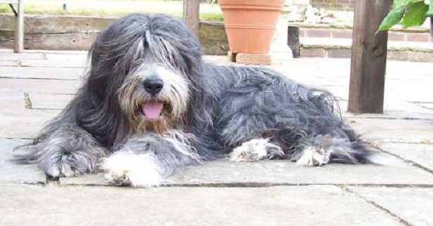 bearded collie origini