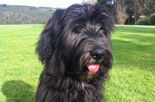 bearded collie carattere