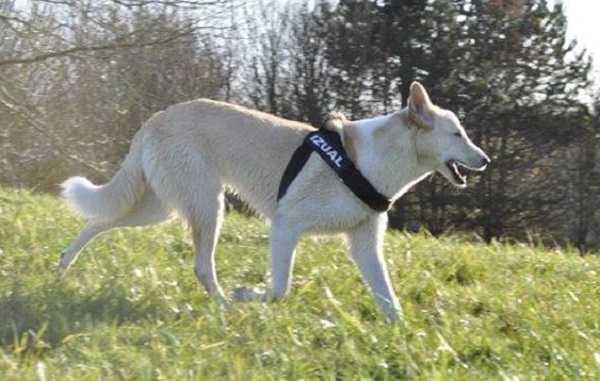 canaan dog aspetto generale