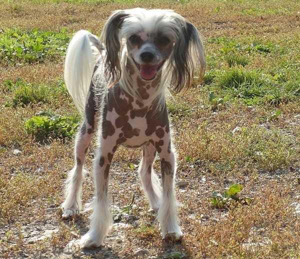 cani senza pelo