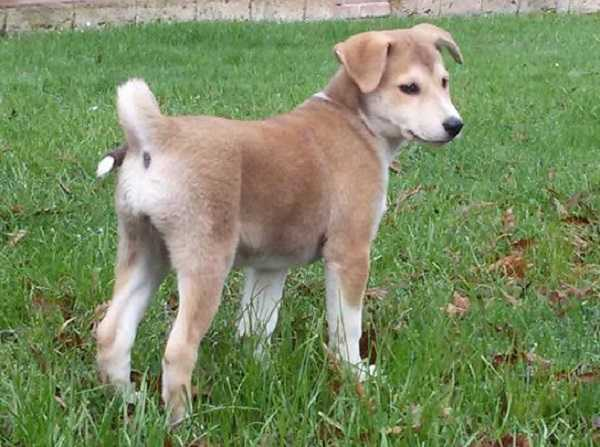 canaan dog origini