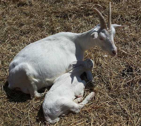capre da latte