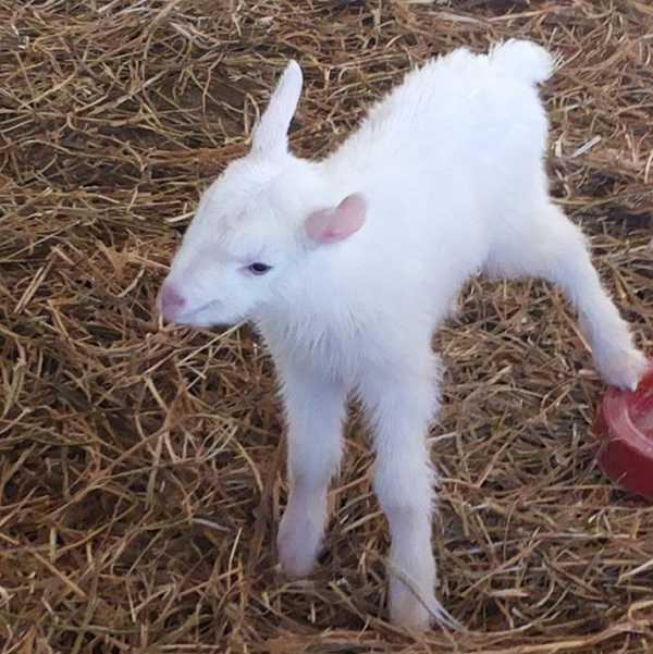 capre da latte come allevarle