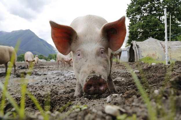 come allevare maiali in casa