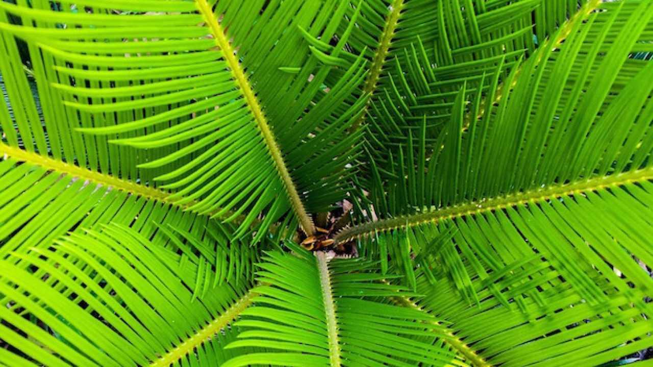Palme Da Vaso Per Esterno come proteggere le palme dal freddo - idee green