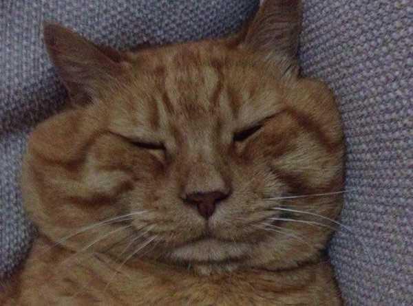 gatto obeso cause
