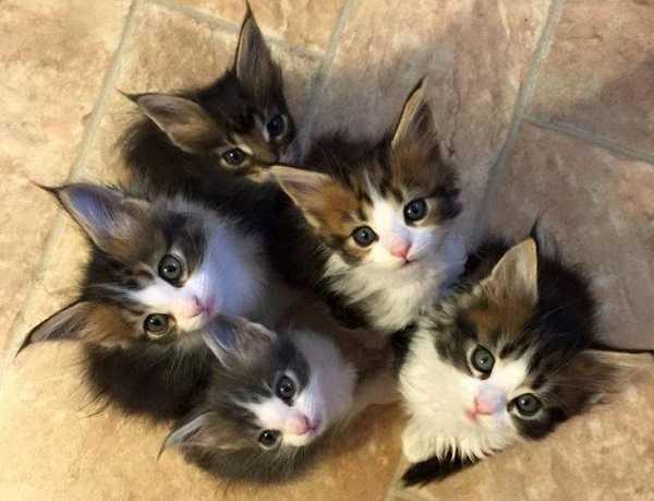 periodo di gestazione dei gatti: parto