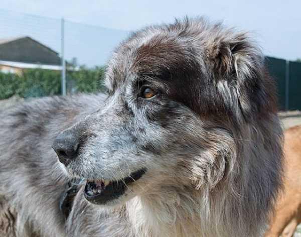 pulci del cane sintomi