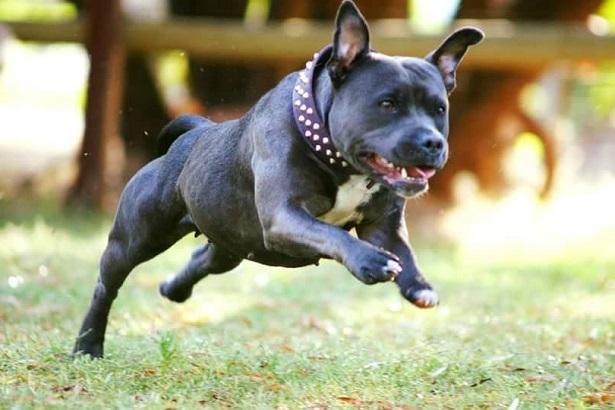 Staffordshire Bull Terrier Carattere E Allevamenti Idee