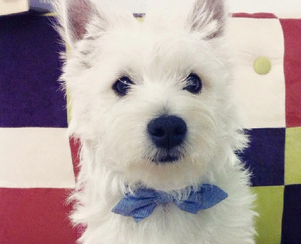 WWest Highland white terrier cucciolo