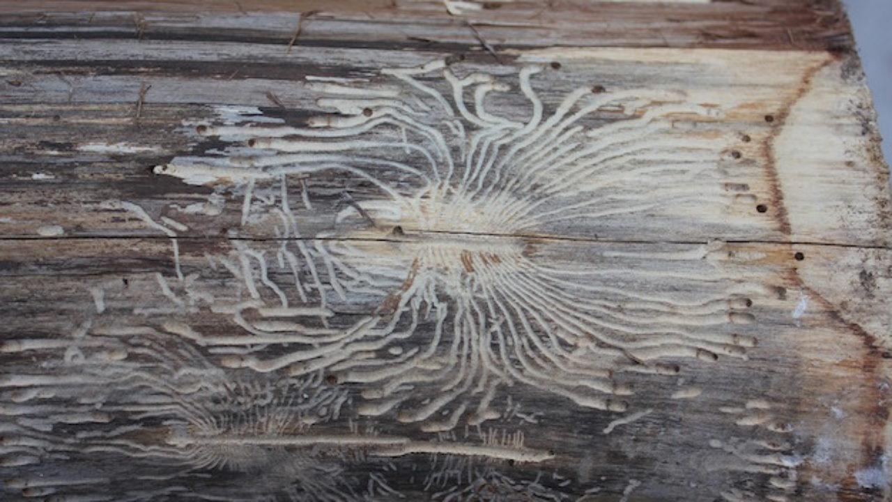 Come Uccidere Acari Della Polvere acari del legno, come eliminarli - idee green