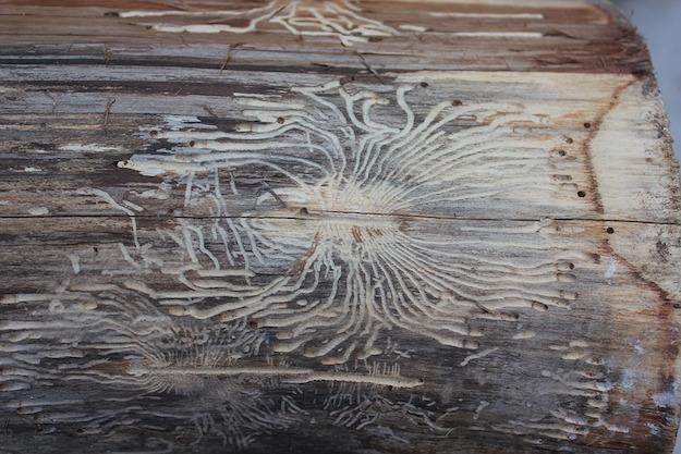 acari del legno