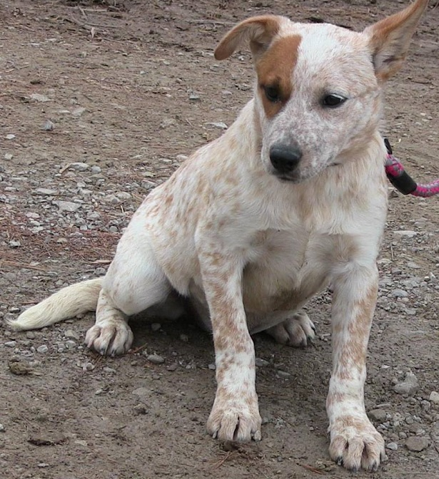 australian cattle dog aspetto