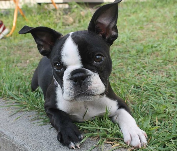 boston terrier origini