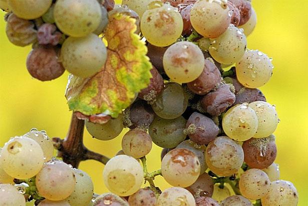 botrite su grappolo d'uva