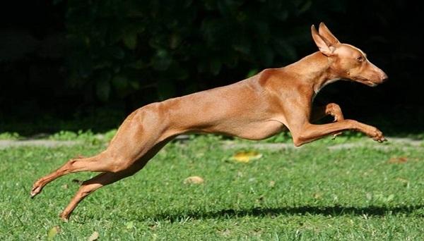 cani primitivi carattere