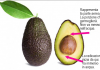 coltivare avocado