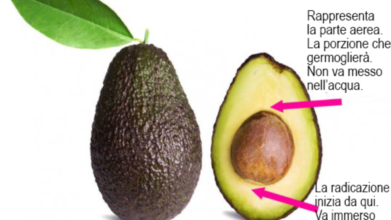 Nocciolo Di Avocado In Acqua coltivare l'avocado, tutte le istruzioni - idee green