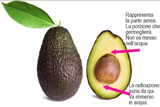 Coltivare l 39 avocado tutte le istruzioni idee green for Pianta di avocado