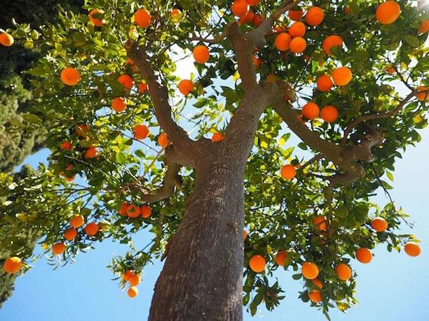 come e quando potare gli aranci