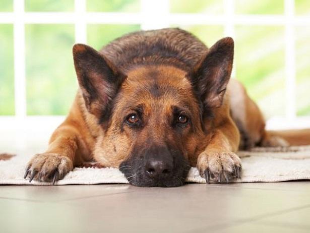 coprofagia nel cane cause psicologiche