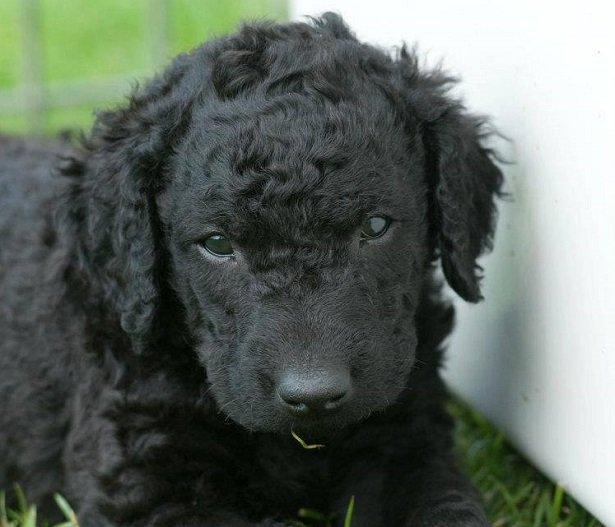 curly coated retriever allevamento