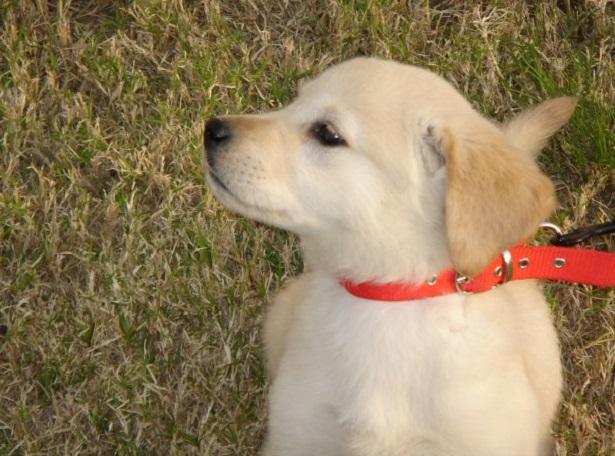 Golden terrier pelo corto
